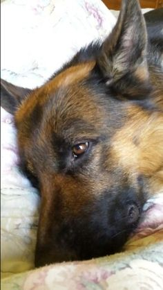 """GSD-Reko  Hope you're doing well.From your friends at phoenix dog in home dog training""""k9katelynn"""" see more about Scottsdale dog training at k9katelynn.com! Pinterest with over 20,800 followers! Google plus with over 180,000 views! You tube with over 500 videos and 60,000 views!! LinkedIn over 9,300 associates! Proudly Serving the valley for 11 plus years! Can now check us out on instantgram! K9katelynn"""