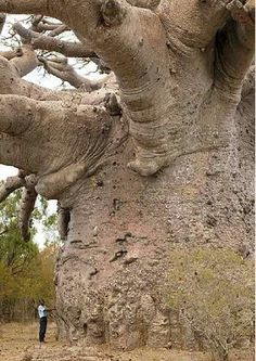 "WOW!!  Boabab: Also known as the ""tree of life"", Baobab trees, found in Africa and India,  can live for several thousand years. They have little wood fiber, but can store large quantities of water. http://mywiki.ws/Exceptional_Trees   #Trees #Baobab_Tree #Africa #India"