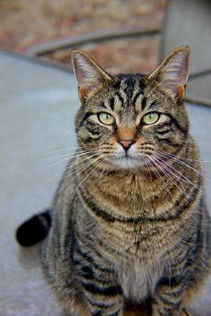 I Miss My Cat, Animals And Pets, Cute Animals, Cat Reference, All About Cats, Cats And Kittens, Tabby Cats, Cute Animal Pictures, Beautiful Cats