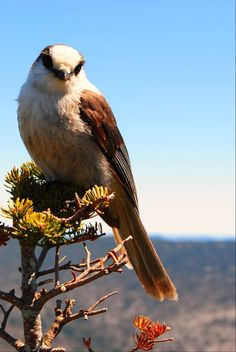 Grey Jay, Webster Jackson Trail, Crawford Notch NH -  Holly Reville Photography