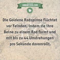 Geniales Video dazu hier: http://www.unnuetzes.com/wissen/10599/goldene-radspinne/