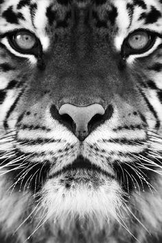 Would be good as a Tiger tattoo...amazing