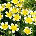 リムナンテスの芽が出たよ♪発芽させるコツ☆   Yard of Nature ナチュラル雑貨&ベランダガーデニング - 楽天ブログ