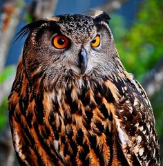 Brilliant colors & details in this photo of a commanding owl! The eyes just pop and I like it is focusing off camera