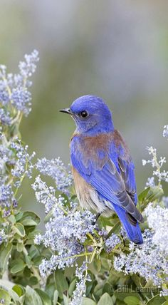 Spring ...Blossoms and Bluebirds a beautiful combination!