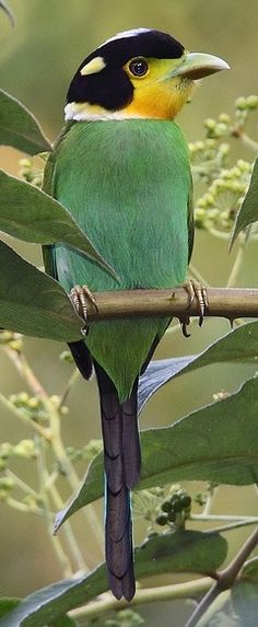 Long-Tailed Broadbill - Himalayas, Southeast Asia, Indonesia Flickr by myrontay