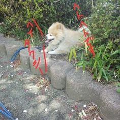 #ポメラニアン#愛犬#可愛いワンちゃん達#Love#Pomeranian#cute タロウはのんびりタイプ、コロはせっかちタイプ😅 特にタロウはすぐ抱っこをねだり楽しますw😆