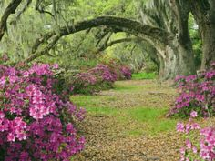 Oak Trees Above Azaleas in Bloom, Magnolia Plantation, Near Charleston, South Carolina, USA By Adam Jones