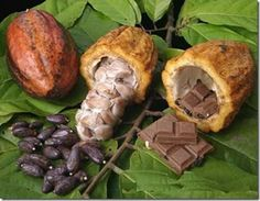 Chocolate Tree - Theobroma cacao - Pot - Fruit of the Gods Theobroma Cacao, Chocolate Tree, Cacao Chocolate, Cacao Fruit, Fruit Seeds, Cacao Beans, Cacao Nibs, Cocoa Butter, Superfoods
