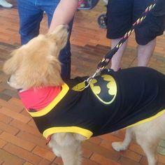 #superheroes #superpet #batman #labrador #labradorretriever #retriever #bimascotas  talla 2xs, xs. s. m. l, xl. 2xl. 3xl, 4xl, 5xl, superman, batman, capitan america o mujer maravilla. Whatsapp 3114438409