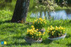Narcissen Tete a Tete arrangementen in het gras. Dit narcisje is de meest verkochte narcis. Een klein bloemetje, maar wel veel steeltjes in zon rieten mandje! Voorjaar!