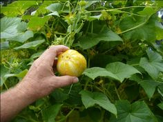 Vegetable Garden Trellis Ideas Inexpensive | need trellis ideas for cucumbers | Vegetables