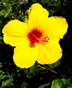 Hawaiian Hybiscus.