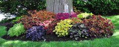 Coléus - Folhagens coloridas para o jardim Nem só de flores vive um jardim,folhagenstambém podem produzir visuais lindíssimos, como é o caso do coléus (Solenostemon scutellarioides L.), também conhecido como coléus-de-Java ou coração-magoado. O Coléus é uma planta de fácil cultivo e de fácil manejo.S... - http://www.precofacil.com/ecoblog/2017/08/15/coleus/