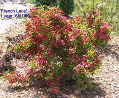 PlantFiles Pictures: Weigela 'French Lace' (Weigela florida) by grampapa