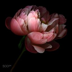 CREATIVITY IS A VERY DELICATE FLOWER... PEONY by Magda Indigo on 500px