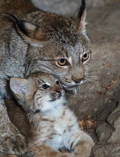 Animals On Pinterest Bear Cubs Red Fox And Baby Tigers