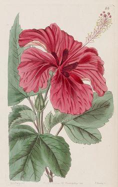 Hibiscus, Edward's botanical register v. 30. I think James Ridgeway is illustrator, 1868