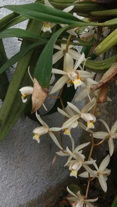 Orquídea... Branca...cheirosa...casa...