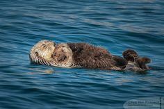 Sea Otter Mother Floats Holding Her Pup Close