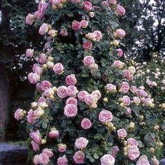 Everblooming Roses Climbing Roses Eden Climbing Rose