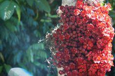 Flor do Cacau do Mato em Apiacás - MT