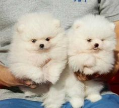 Dogs & puppies for sale classifieds in North Carolina | Yorkie ...