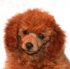Who Loves Red Poodles ?