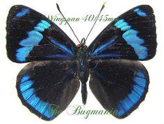 Nymphalidae : Perisama alicia - The Bugmaniac INSECTS FOR SALE BUTTERFLIES FOR SALE INSECTS FOR SALE BUTTERFLIES FOR SALE BUTTERFLIES BY ECOZONE NEOTROPICAL ECOZONE NYMPHALIDAE