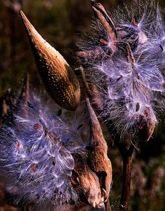 Autumn Milkweed pods