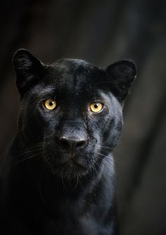 Black Beauty - Panther Portrait by ~Manu34