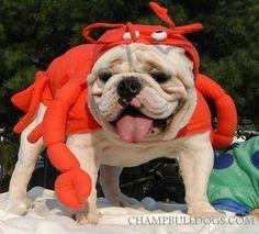 funny English bulldog pictures, English bulldog puppies photos