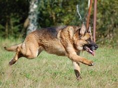 How to stop anxiety in German Shepherds
