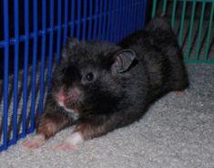 Storm the syrian hamster,photo by Miranda Crossley