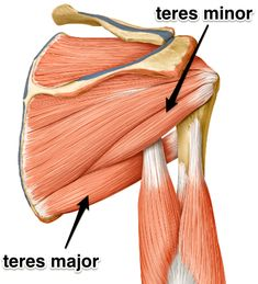 Teres Major: Learn Your Muscles The teres major isn't a rotator cuff muscle, but it's an important neighbor. #humananatomy, #teresmajormuscle, #teresmajor