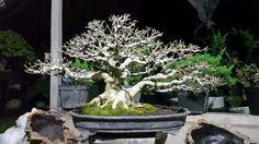 Bonsai Art, Bonsai Trees, Gardening, Plants, Bonsai, Lawn And Garden, Plant, Planets, Horticulture