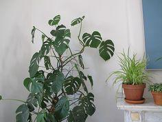 split leaf philodendron monstera deliciosa