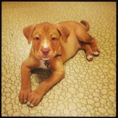 Terrier Mix 3 month old Harper. Red Nose Pitbull Puppies, Pitbull Terrier Puppies, Pitbull Lab Mix, Bull Terrier Mix, Terrier Dogs, Happy Dogs, Dog Training, Puppy Love, Dog Breeds