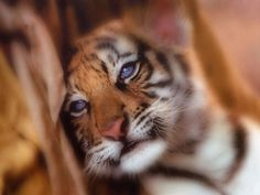 adorable baby animals | Category : Baby Animals , tags: cute baby tiger wallpaper