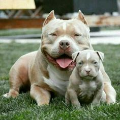 Pitbulls brindle -- Press Visit link above for more options Amstaff Terrier, Pitbull Terrier, Cute Puppies, Cute Dogs, Dogs And Puppies, Doggies, Big Dogs, I Love Dogs, Beautiful Dogs