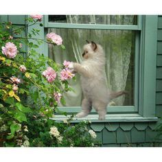 Green cottage kitten dancing with a pink rose.