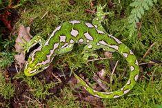 New Zealand Jewelled Gecko.
