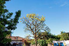 Ipê amarelo, Tiradentes, MG