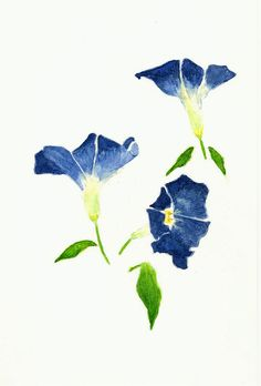 morning glory flower botanical drawing - Google Search