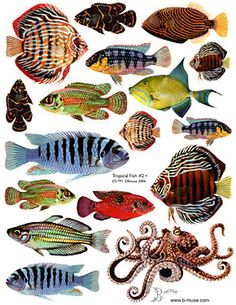 http://b-muse.com/images/products/tropicalfish2.jpg Fish Collage, Zoologie, Fish Illustration, Ocean Art, Ocean Life, Tropical Fish, Water Life, Vintage Fishing, Fish Art