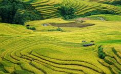 Lao Cai province - Vietnam's Northwest frontier - The terraced rice fields turning to yellow when the harvest  comes