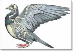 El antebrazo en la paloma mensajera - Colombofilia