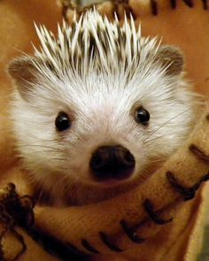 Say hello to adorable Sully, the hedgehog