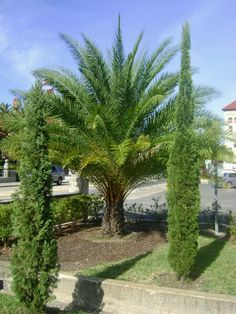 Pam tree and Italian Cypress _ Bing Images Palm Trees Garden, Italian Garden, Cypress Trees, Backyard Projects, Backyard Ideas, Love Garden, Mediterranean Style, Drought Tolerant, Garden Styles