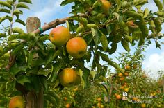 nice Apfelplantage Königreich Numero 10,  #Landleben